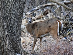 Who's there? (marensr) Tags: whitetailed deer mammal animal doe nature trees alert north park village center chicago illinois