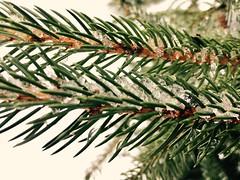 Spruce bough closeup (karma (Karen)) Tags: baltimore maryland home backyard spruce branches sleet marchstorm texture htt iphone hbw topf25