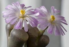 Conophytum (Ophthalmophyllum) praesectum