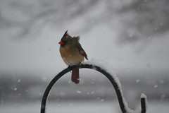 Well Ruffle Me Feathers (eyriel) Tags: bird cardinal female nature wildlife snow winter cold wind macro