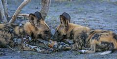 Lunch (rachelsloman) Tags: wild dogs kwai botswana animals