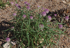 Gomphrena affinis ssp pilbarensis, Kings Park, Perth, WA, 10/01/17 (Russell Cumming) Tags: plant gomphrena gomphrenaaffinis gomphrenaaffinispilbarensis amaranthaceae kingspark perth westernaustralia