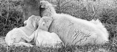 mum is so cosy (Simple_Sight) Tags: sheep lambs wool animals outdoors mallorca hiking monochrome ngc npc