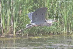 77D-Viewfinder-AF-Zone-Heron-01a-65 copy (dojoklo) Tags: autofocus af viewfinder afpoints afsquares canon eos canon77d 77d body controls dial howto use learn tips tricks tutorial book manual guide quickstart setup setting