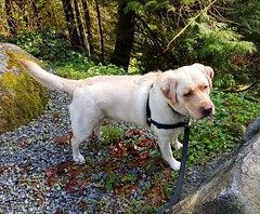 Gracie between two rocks (walneylad) Tags: gracie dog canine pet puppy lab labrador labradorretriever cute april spring capilanoriverregionalpark westvancouver britishcolumbia canada goodfriday