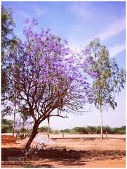 Jacaranda (prashanthkumar2) Tags: jacaranda flower tree clouds sky purple nature prashanthkumar