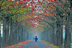 英雄樹下,我拍你,你拍我 (Dodd Lu) Tags: 台灣 臺灣 台南 臺南 白河 林初埤 木棉 taiwan tainan redcotton cottontree d5100asia
