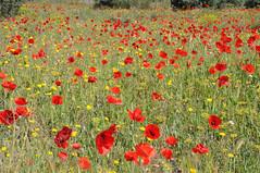 Campo de amapolas (kaplan10) Tags: amapolas reservanaturaldesebes naturaleza flores tarragona flix roselles poppies coquelicots