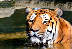 Tiger relax in the water (Joseph Trojani) Tags: tigre tiger relax bangale eau water repos félin nikon d7000