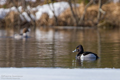 Fuligule à collier / Ring-necked Duck (Pierre Lemieux) Tags: villedequébec québec canada fuliguleàcollier ringneckedduck maraisdunord lacsaintcharles lac eau marais canard