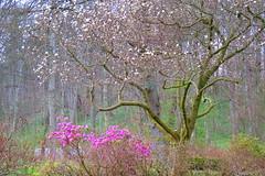 Magnolia (kirdygold) Tags: magnolia spring purple lilla blomster springflowers