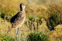CURLEW'S CALL (Aspenbreeze) Tags: curlew wildbird bird wildlife prairiebirds curveddownbeak curvedbeak nature rural prairie bevzuerlein aspenbreeze moonandbackphotography
