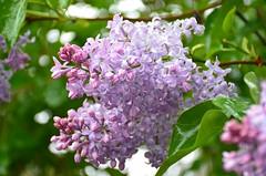 Jatkuu ... (anuwintschalek) Tags: nikond7000 d7k 18140vr austria niederösterreich wienerneustadt kodu home kevad april frühling spring lumi snow schnee lörts schneeregen sirel flieder lilac