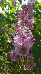 (Iggy Y) Tags: syringa vulgaris spring blossom flowers blue purple flower green leaves lilac jorgovan day light sunny