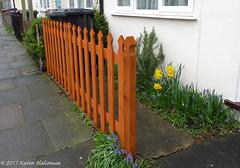 March 13th, 2017 New fence (karenblakeman) Tags: cavershamgarden caversham uk fence march 2017 2017pad flower grapehyacinths daffodils rosemary