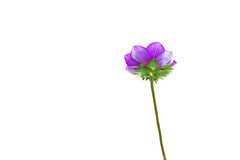 Like all magnificent things, it's very simple... (Just lovin' it) Tags: flower anemone flor purple simple highkey