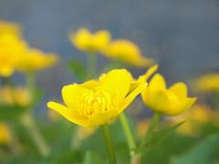Marsh flowers (ekaterina alexander) Tags: marsh flowers kingcup caltha palustris water yellow flower wetland ekaterina england alexander sussex coast wild nature photography pictures