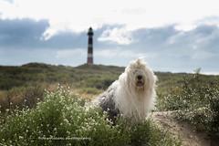day at sea (dewollewei) Tags: oldenglishsheepdog oldenglishsheepdogs english sheepdog sheepdogs oes bobtail dewollewei sophieandsarah sophieensarah ameland amelandfoto waddeneilanden wadden hollum vuurtoren lighthouse