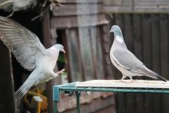 21 April 2017 (48) (AJ Yakstrangler) Tags: yakstrangler pigeon pigeons