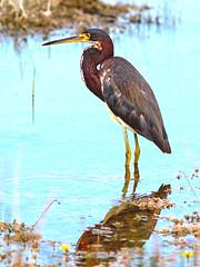 Tricolored Heron 2-20170422 (Kenneth Cole Schneider) Tags: florida miramar westmiramarwca