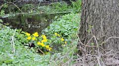 Kaczeńce (knieć błotna) (gchodkie) Tags: marshmarigold kingcup