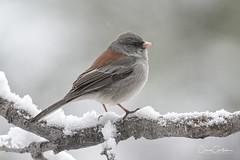 April Fool's!! (craig goettsch - off and on traveling) Tags: darkeyedjunco bird avian nature wildlife snow animal nikon d500