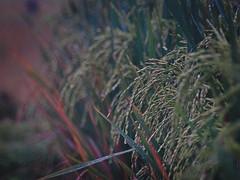 Ripe paddy (elly.sugab) Tags: flower paddy flora grass rice vegetable plant bokeh depthoffield sawah padi nature