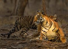 Noor at sunrise (dickysingh) Tags: tiger ranthambore ranthambhorenationalpark india wild wildlife