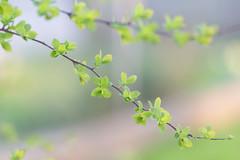21 Marzo (Ale*66*) Tags: spring primavera march marzo bokeh natura nature green verde