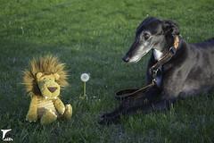 Dandelion (houndstooth4) Tags: dog greyhoound flattery dogchal ddc odc 1652 52weeksfordogs