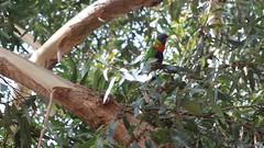 Rainbow lorikeets 'showing off' (natalia.bird_nerd) Tags: birds lorikeets parrots rainbowlorikeets australia