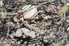 Lizard (Plonq) Tags: arizona vacation travel animal critter nature lizard rock rocks scrub