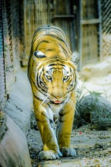 Royal Bengal Tiger (sharief904) Tags: wildtigers wildcats wildanimals wildlifephotography wildlife indiantigers bengaltiger tigers tiger 70300mm nikond5300 royalbengaltiger