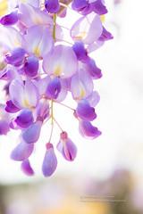 Wisteria (湯小米) Tags: 1dx canon ef100mmf28macro flower plant wisteria 微距 植物 紫藤 花卉 台北 新北市 台灣