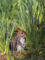 Squirrel amongst the Daffodils (Maria-H) Tags: greysquirrel trafford england unitedkingdom gb sciuruscarolinensis daffodils dunhammassey garden cheshire uk olympus omdem1markii panasonic 100400