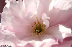 Les fleurs sont jolies, dès que le printemps revient 09 (letexierpatrick) Tags: printemps fleurs flowers fleur flower floraison france nature nikon nikond7000 jardin jardindesplantes macro couleurs colors cerisier cerisierdujapon rose coeurdefleurs pistil sigma105mm