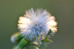 Cotton bokeh (dfromonteil) Tags: flower fleur dandelion macro bokeh white blanc cotton coton vert green nature plant plante vegetal light sunlight lumière spring printemps
