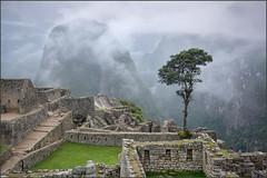 Peru_MP_2017_1000_20170306-_GRN4580- (TonyHa) Tags: 20170302centralamerica peru machu picchu tree fog mist d810 mountain landscape sunrise