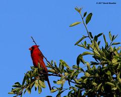 Cardinal Male (davidhamblet) Tags: bird cardinal