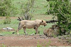 Lions (Panthera leo) (berniedup) Tags: lowersabie kruger lion pantheraleo taxonomy:binomial=pantheraleo