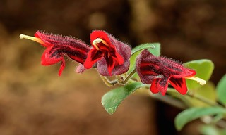 Aeschynanthus tricolor 5307-1; Gesneriaceae (1)