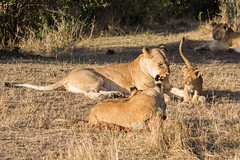 Look, I'm not in the mood for play this morning (Ring a Ding Ding) Tags: 2017 africa bigcat kenya kichetche lion maasimara pantheraleo prideoflions action cat cubs lioness nature playing predator safari snarl wildcat wildlife narokcounty coth