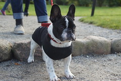 DSC03455 (Anastasia Neto) Tags: cutepuppies dog dogs dogphotography dogmodel cutepuppy dogphotographer petmodel puppies petphotography pets puppy pet petphotographer frenchie frenchies frenchbulldog frenchbulldogs funnydog funnydogs
