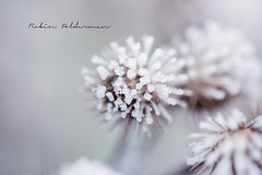 Frost (Pamba-) Tags: winter nature ice frost beautiful netherlands cold icecold canon5dmarkiii canon macro closeup plant frosty 100mm