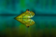 Mudskipper II (Explored) (Tore Thiis Fjeld) Tags: mudskipper slamkryper water color fish surface light eyes glance look vision sony a6000 norway