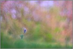 pulsatilla (seozzy) Tags: pulsatilla macro carso karst trieste flower