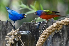 Male Indigo Bunting vs. Male Painted Bunting (bmasdeu) Tags: duel fight territory birds buntings males feeders