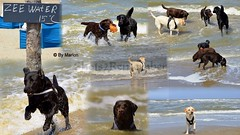 Labrador Dating at the beach! :-) (ShotsOfMarion) Tags: shotsofmarion shots2remember flickr nikon labrador labradors hunden honden hond dog perro cane chien labradorsatthebeach hondenfotografie dogphotography