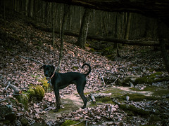 Dog Adventure (JLBondia) Tags: wimpy dog forest woods creek spring blackdog rescue mutt mixbreed nature kentucky