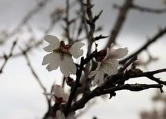 Empordà_1164 (Joanbrebo) Tags: flors flores flowers fiori fleur blumen blossom girona espolla canoneos80d efs1855mmf3556isstm eosd autofocus